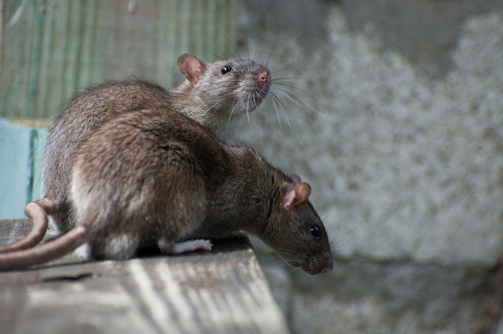 Roof Rats Rat Control Rodent Control Mice Control