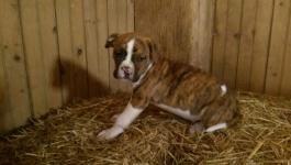 American Bulldog Puppies For Sale Puppy Millers Lead People To
