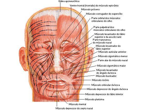 Quirurgica facial anatomia