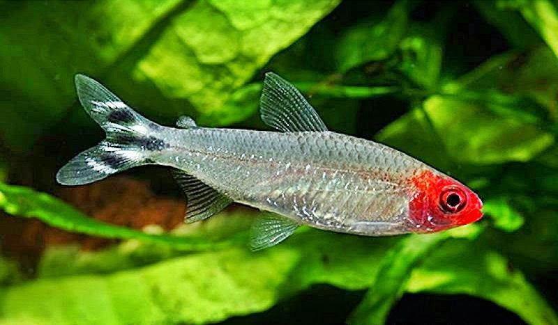 Sawbwa Resplendens Asian Rummynose Aquarium Fish Freshwater Aquarium Tetra Fish