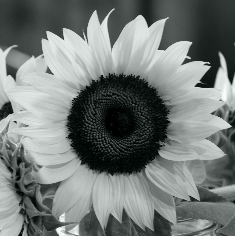 Sunflower In Black And White By J Custer Via 500px Flores