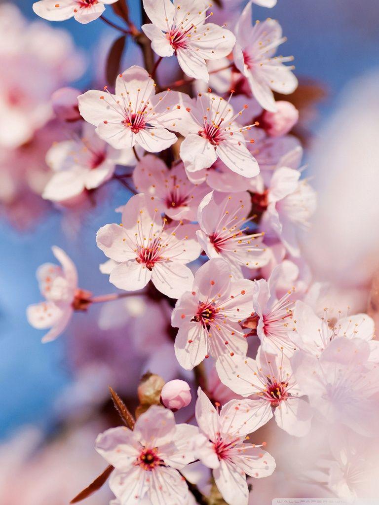 Red Bird Hd Desktop Wallpaper High Definition Fullscreen Cherry Blossom Wallpaper Japanese Cherry Blossom Cherry Blossom Tree