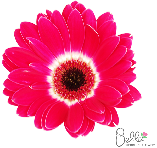 Pink With White Ring Gerbera Daisies Are Fresh Fun And Cheerful Wedding Flowers Did You Know That Gerb Pink Wedding Flowers Gerbera Daisy Diy Wedding Flowers