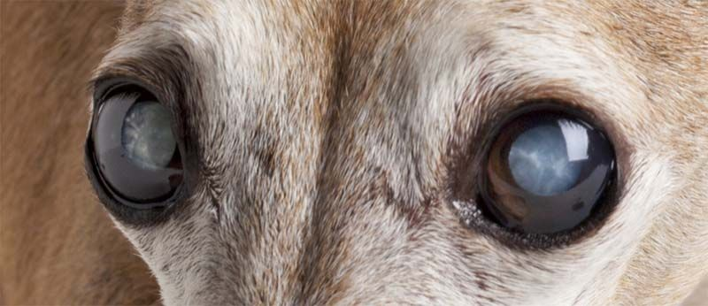 5 Ways To Prevent And Treat Cataracts In Dogs Eye Drops For Dogs