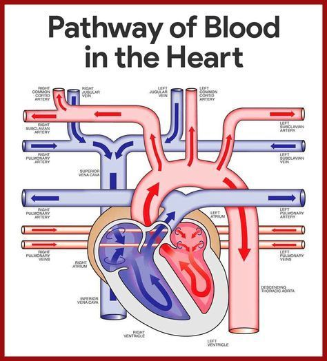 Cardiovascular System Anatomy and Physiology | Anatomy, Blood and ...