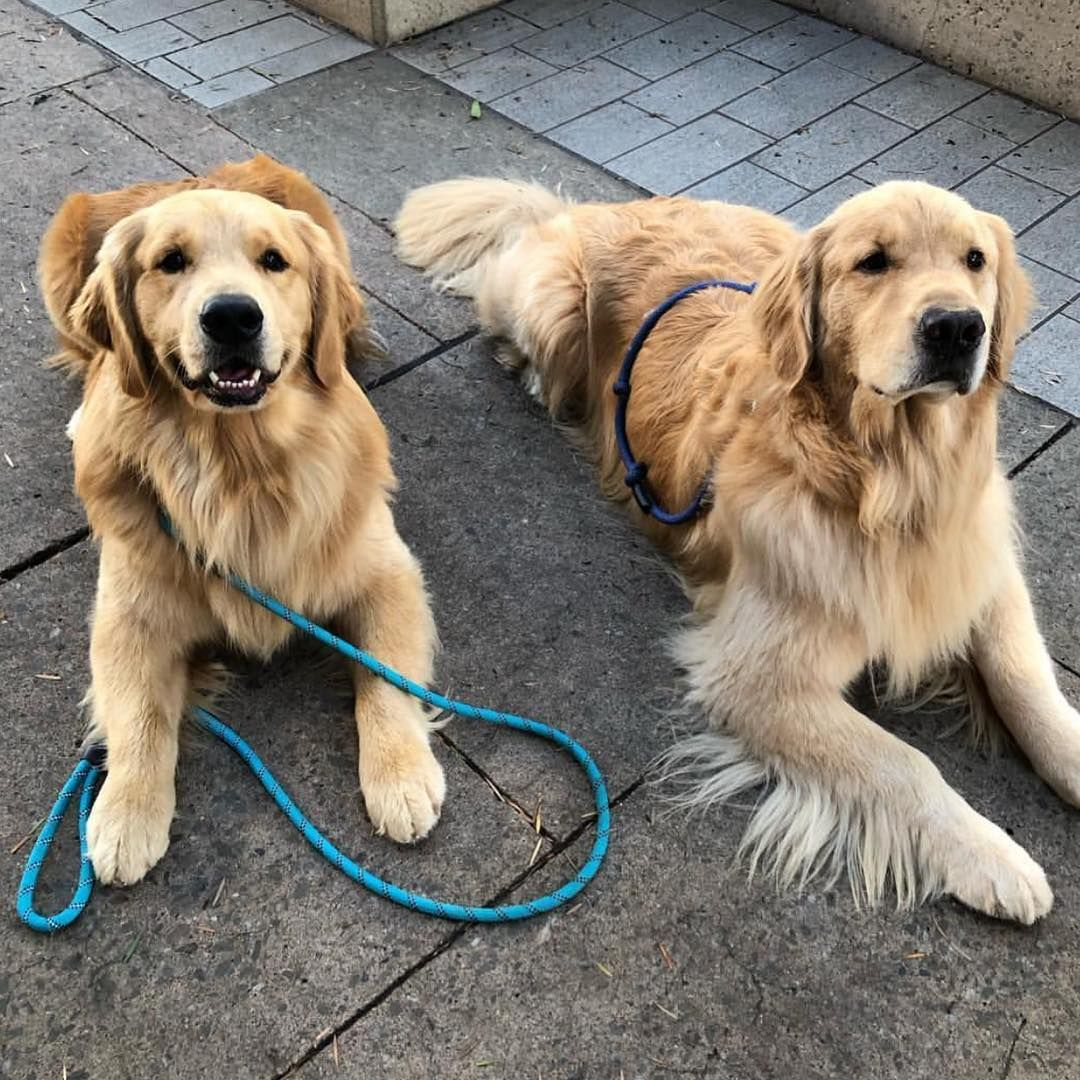 Golden Retrievers Dogs On Instagram My Babies Sons