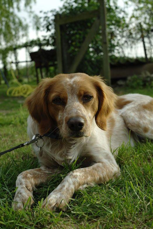 Dog Brittany Spaniel Estoun On Www Yummypets Com Brittany