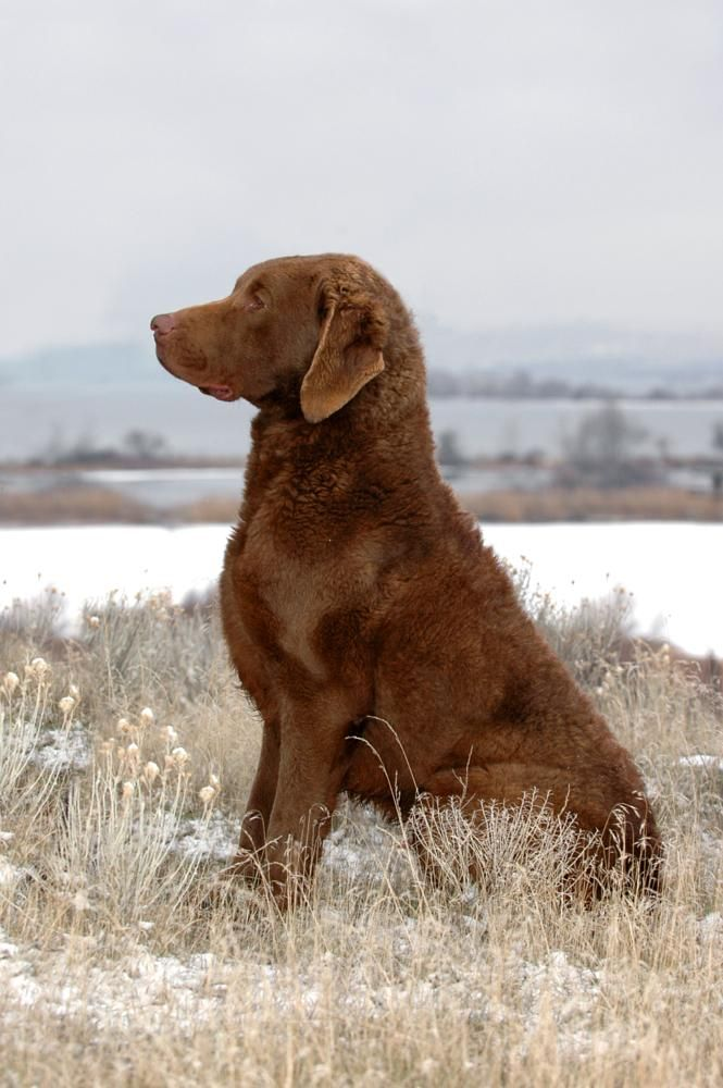 By Annlynnphotography Chesapeake Bay Retriever Chesapeake Retriever Dogs