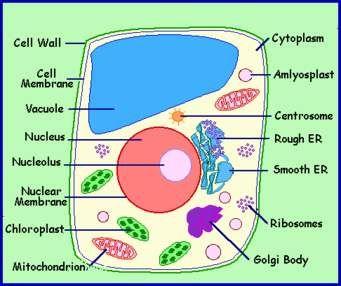Plant Cell Diagram - Norton Safe Search | plant cell | Pinterest ...