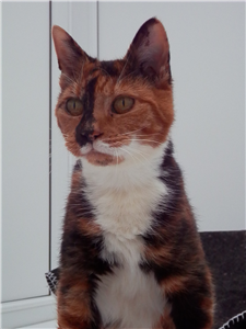 Can We Find A Home For Cuddly Calico Ashley Cat Adoption Cats Cuddly