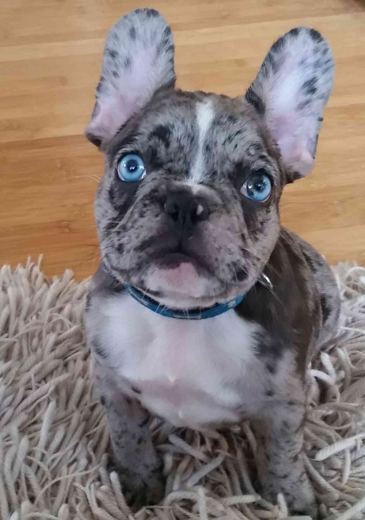 Pin By Jen Lall On Frenchton French Bulldog Merle French