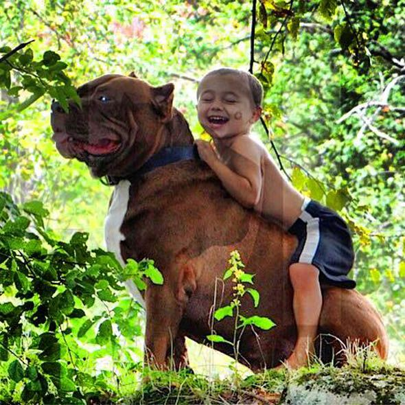 A PIT BULL HULK LIVES UP TO HIS NAME All About Most Amazing - Meet hulk possibly worlds biggest pitbull still growing