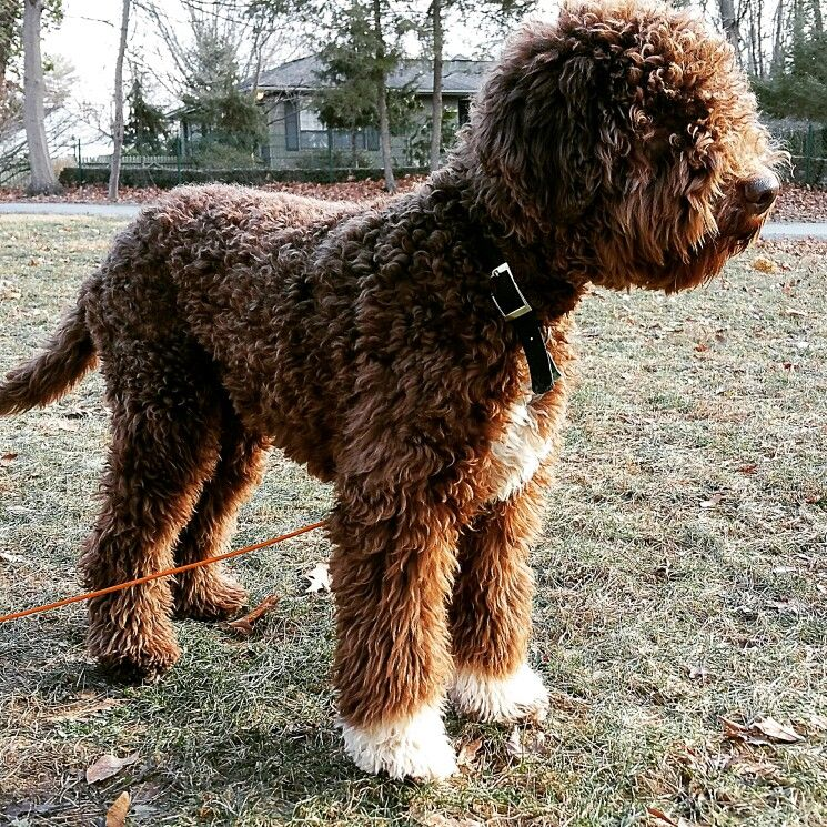 Lagotto Romagnolo Pup Classic Look 7 Months Old Lagotto