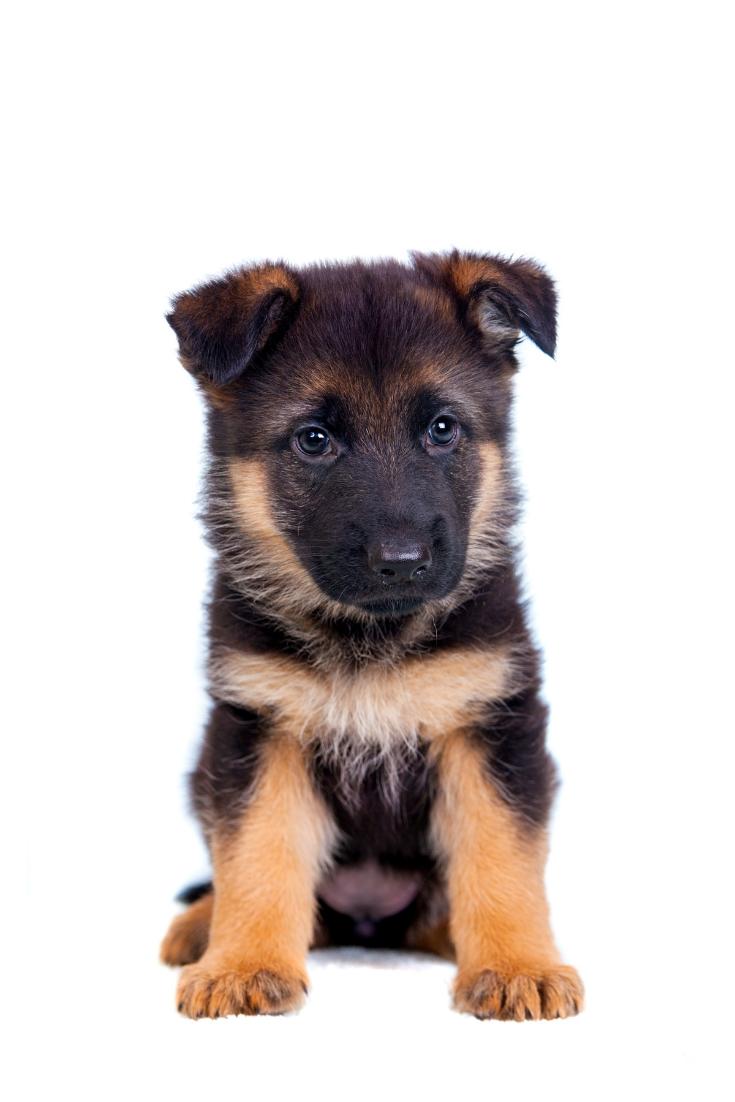 German Shepherd Puppy Isolated On White Background Germanshepherd