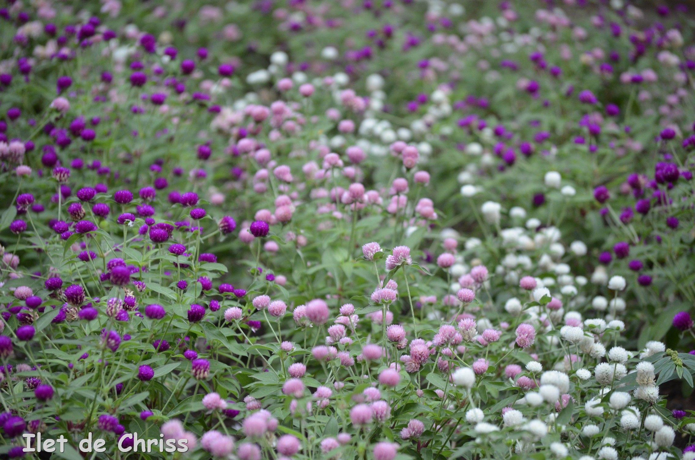 Tapis fleuri, Jardin de l'Etat, Saint Denis