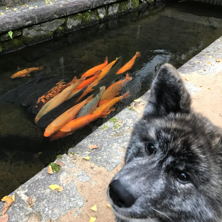 岩につっかえて動けない鯉達早く行こうよって目で訴えるあき今日もsmileで バイト頑張ろっと おはようございます 朝の散歩 愛犬 犬 日本犬 秋田犬 黒虎 動物のいる生活 田舎 町並み 鯉 鯉のぼりみたい Goodmorning Dog Japan Animallife Akitainu Fi 鯉 岩 動物