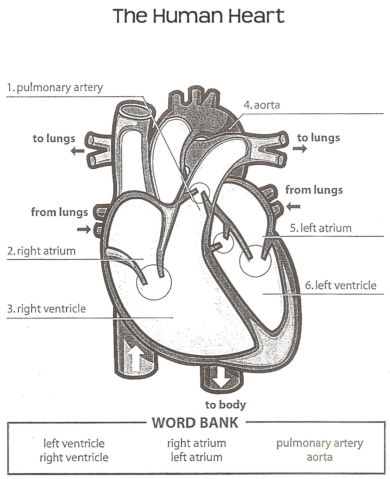 Human Heart Answer Key With Images