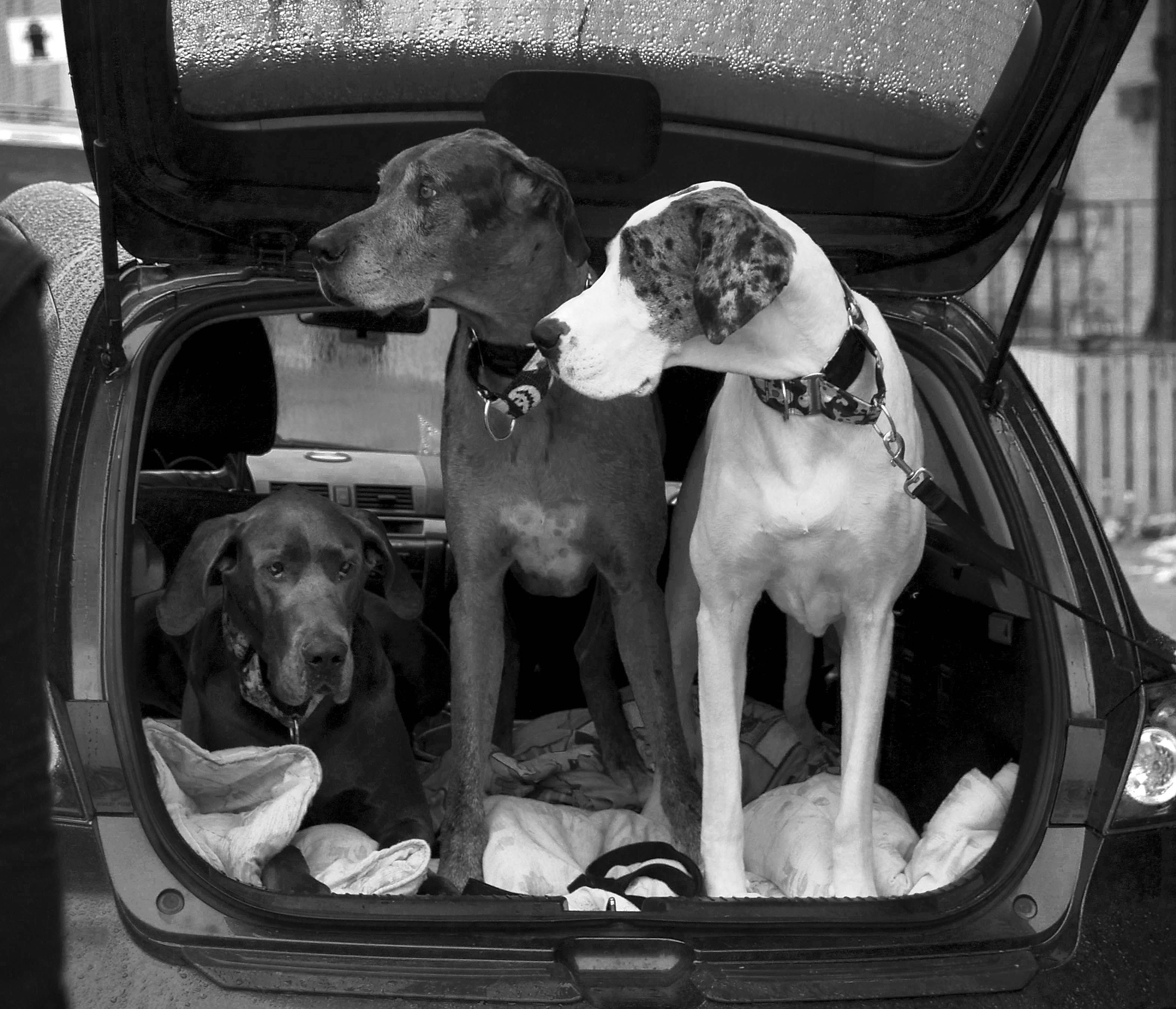 Three Great Danes In The Back Of A Car I Need A Suv Great Dane