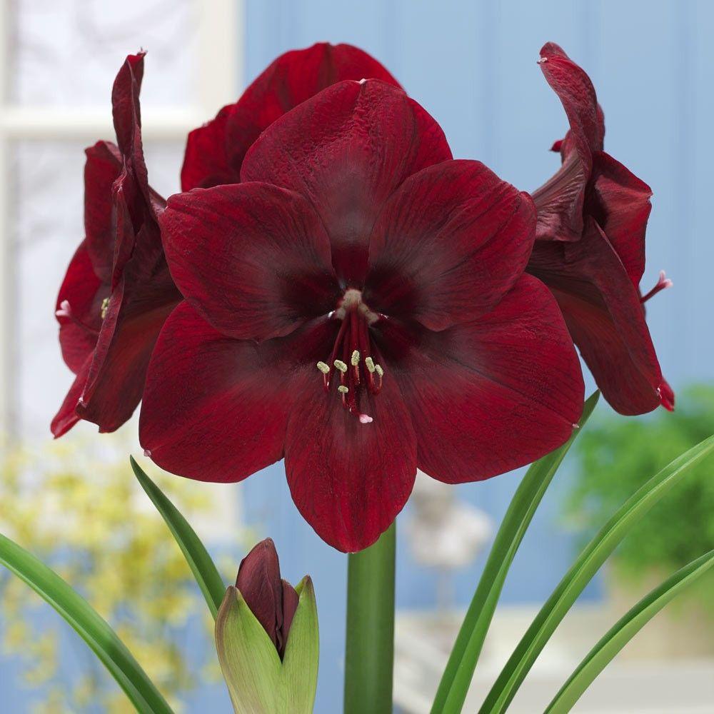 Цветы, цветы амариллис купить москва