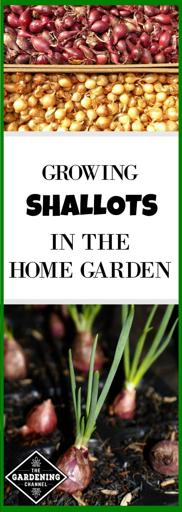 Growing Shallots in the Home Garden | Growing shallots ...