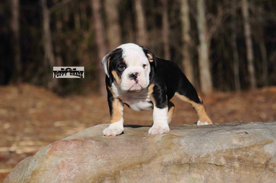 Puppychase Kennels Bulldog Puppy Animals Beautiful Bulldog