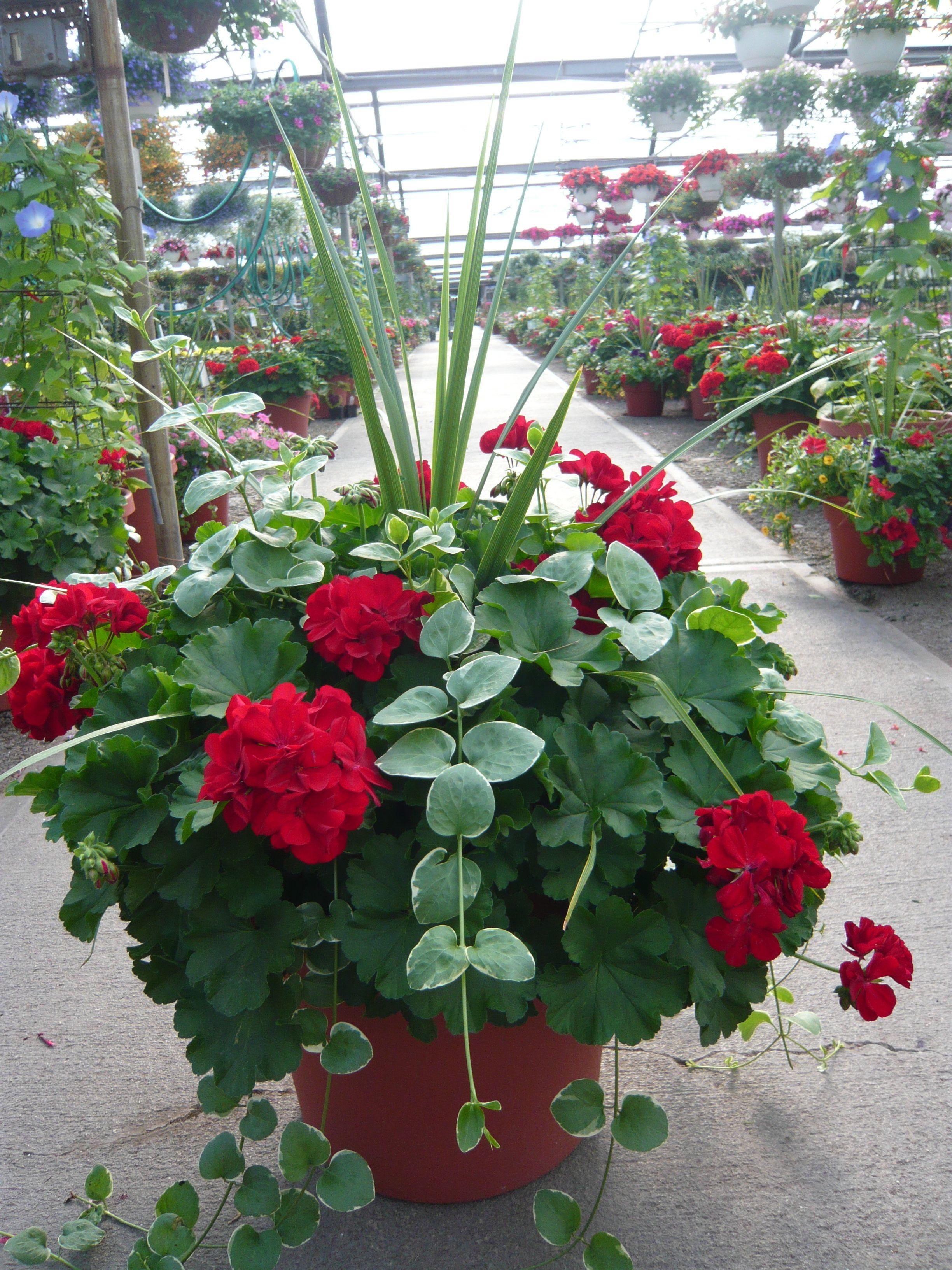 Geranium Dracena The Spiky Stuff And Vinca Vine Planter With Images Flower Garden Design Container