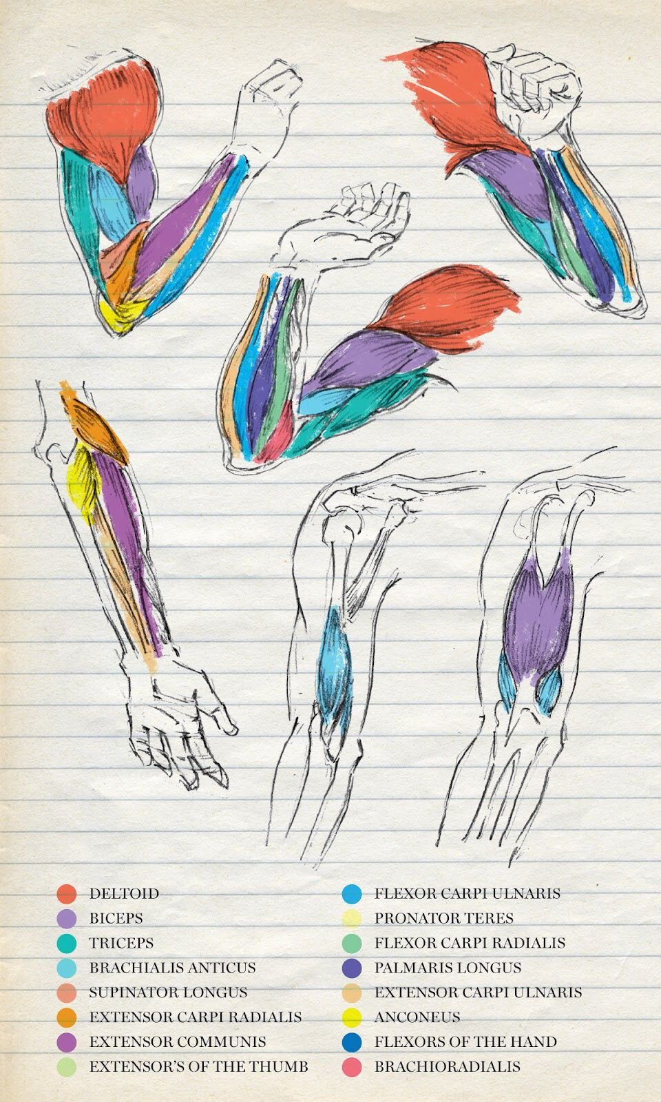 Pin de Anne Castillo en Apuntes med | Pinterest | Medicina, Anatomía ...