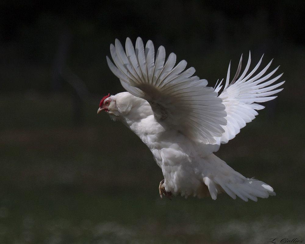 действительно, картинка летящая курица этого можно сделать