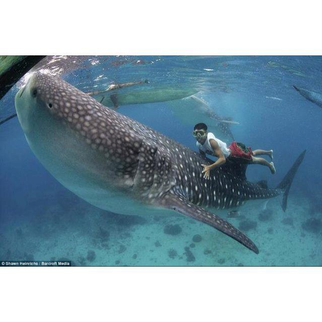 Not following whale shark courtesy. Still cool.
