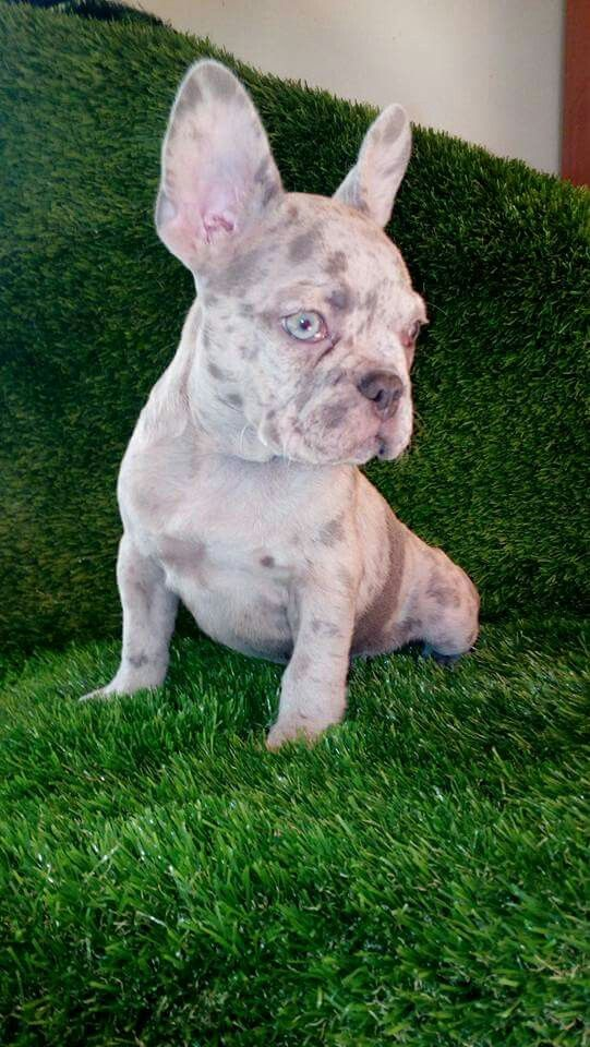 Marle Frenchie Puppy Super Beautiful Merle French