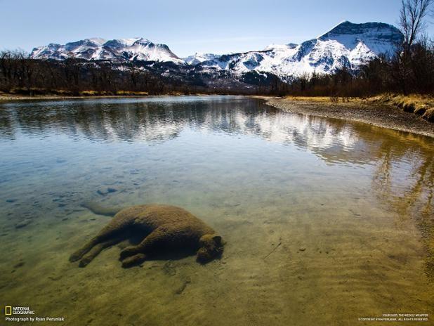 Los restos de un puma víctima del frío yacen en la orilla de un río (Ryan Peruniak, 2013)