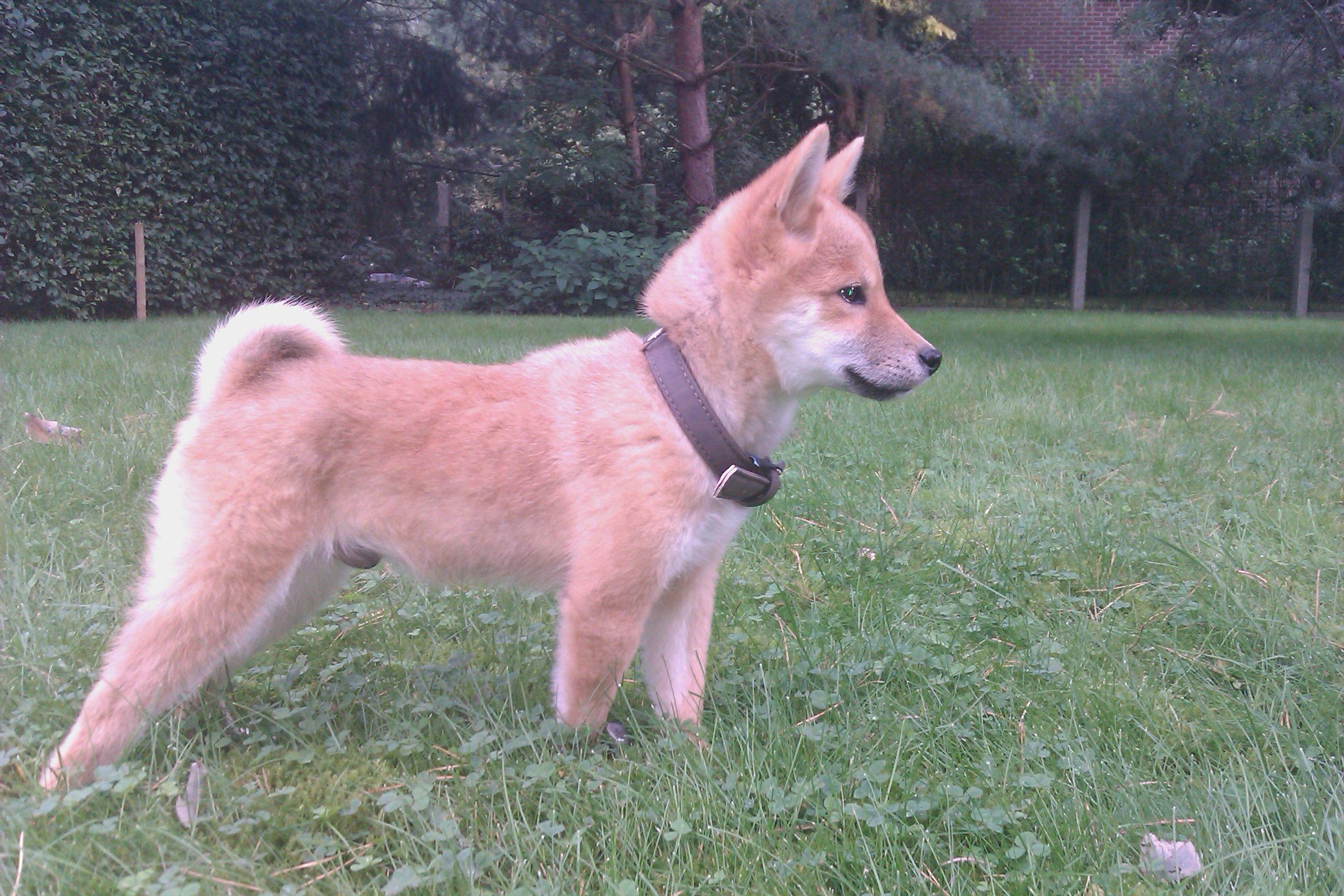 Shiba Inu 3 months old | Shiba inu, Dogs and puppies, I ...