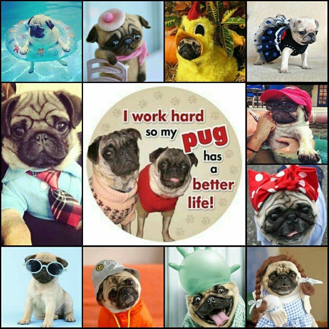 I work hard so my pug has a better life