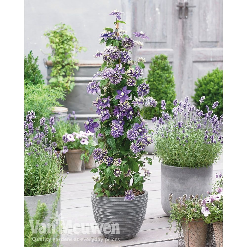 Top Tip To Grow Clematis In Pots It S Best To Use A Large Container About 45cm In Diameter With The Same Potted Plants Outdoor Clematis Container Gardening
