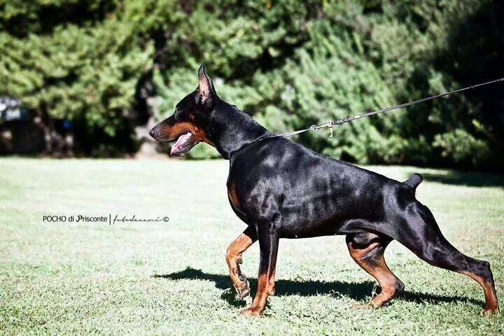 #Doberman | Cool Dogs | Doberman, Doberman pinscher ...