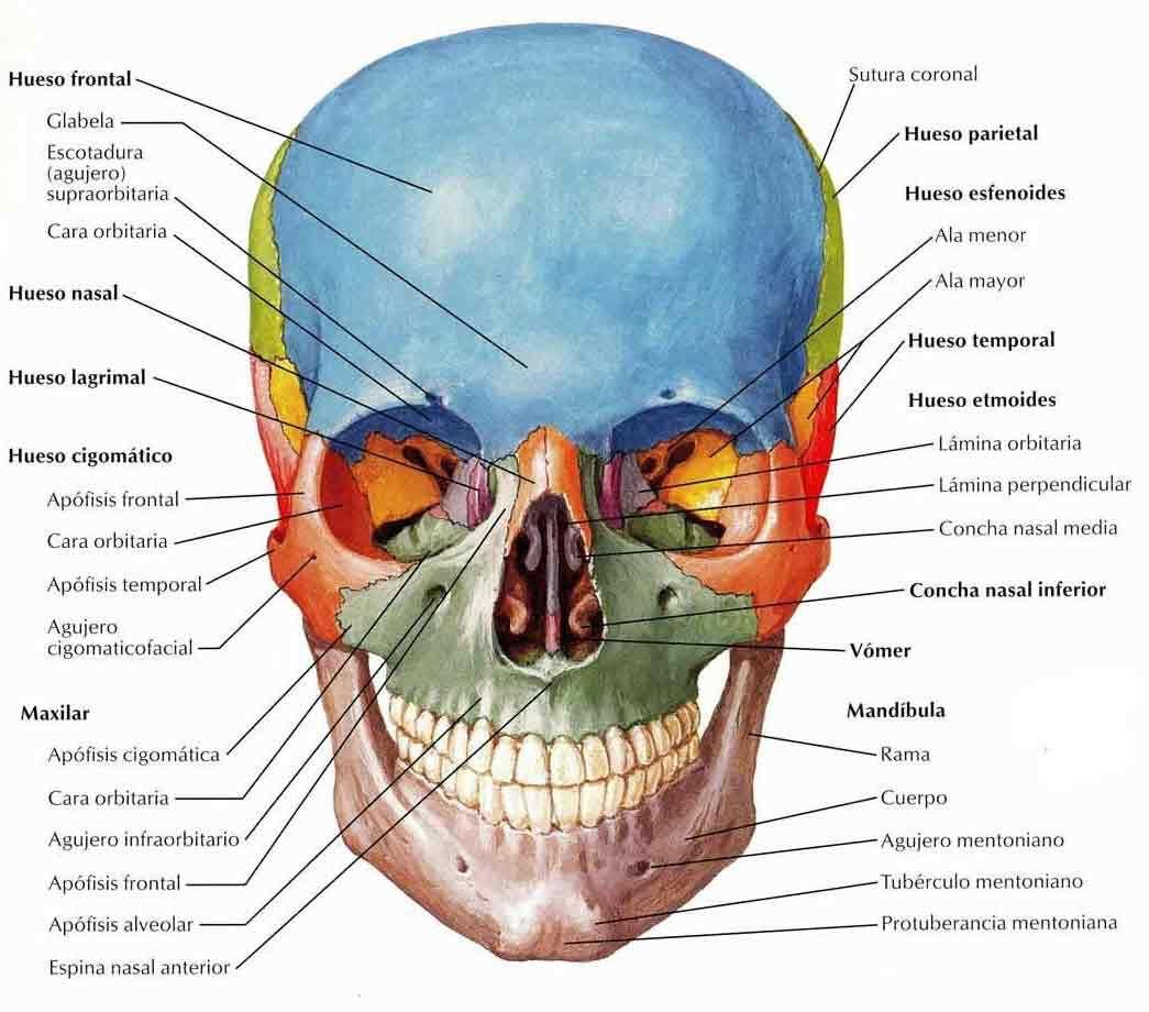 Craneo - Vista frontal | Anatomia de la cabeza-craneo. | Pinterest ...