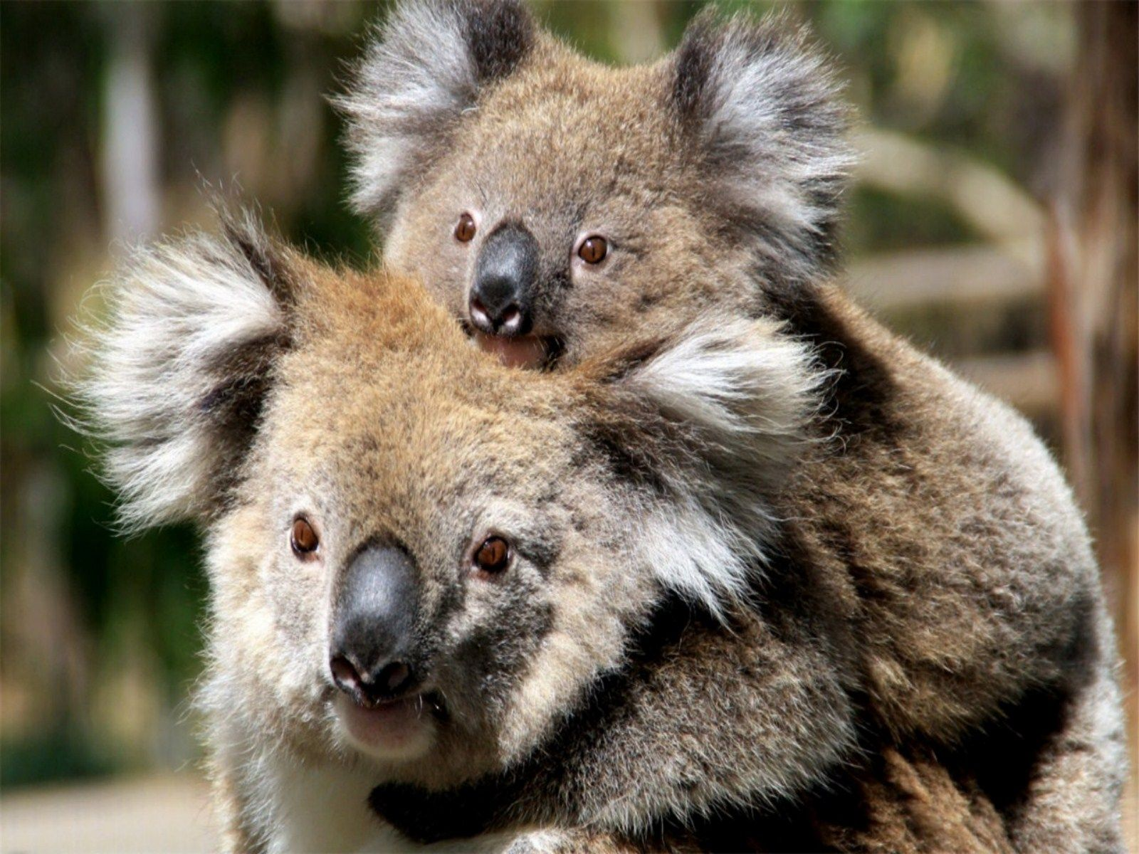 Koala Wall Paper Koala Wallpapers Hd Wallpapers Inn Mother And Baby Animals Baby Animals Baby Animals Pictures