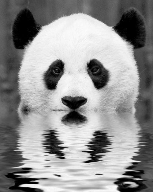 Panda-reflection