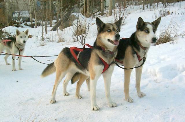 Seppala Siberian Sleddogs Husky Like Most Likely A Mix Of Dogs