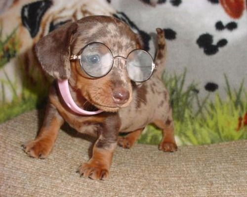 bespectacled dachshund  (via starcrossed1)