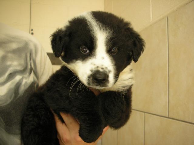 Border Collie Dog For Adoption In Eureka Springs Ar Adn 668060