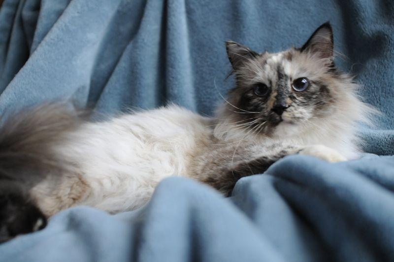 Adopt Bella Boo Boo On Saving Cat Cat Adoption Cats