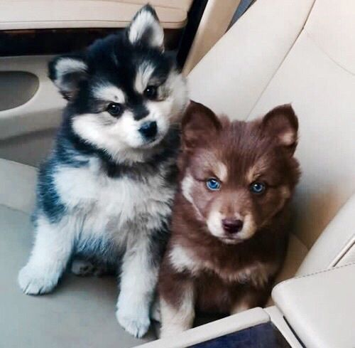 Good Puppy Blue Eye Adorable Dog - 5855c162f2a3ea14d45fbb53a77a7089  HD_708962  .jpg