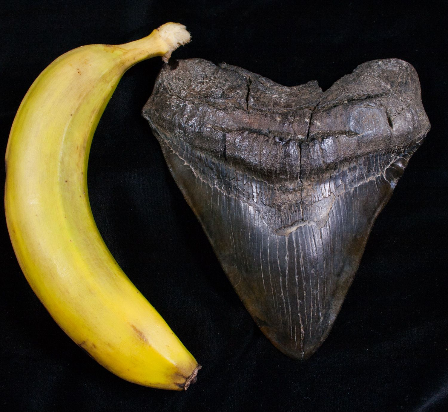 """Extremely Wide 6.13"""" Megalodon Tooth"""