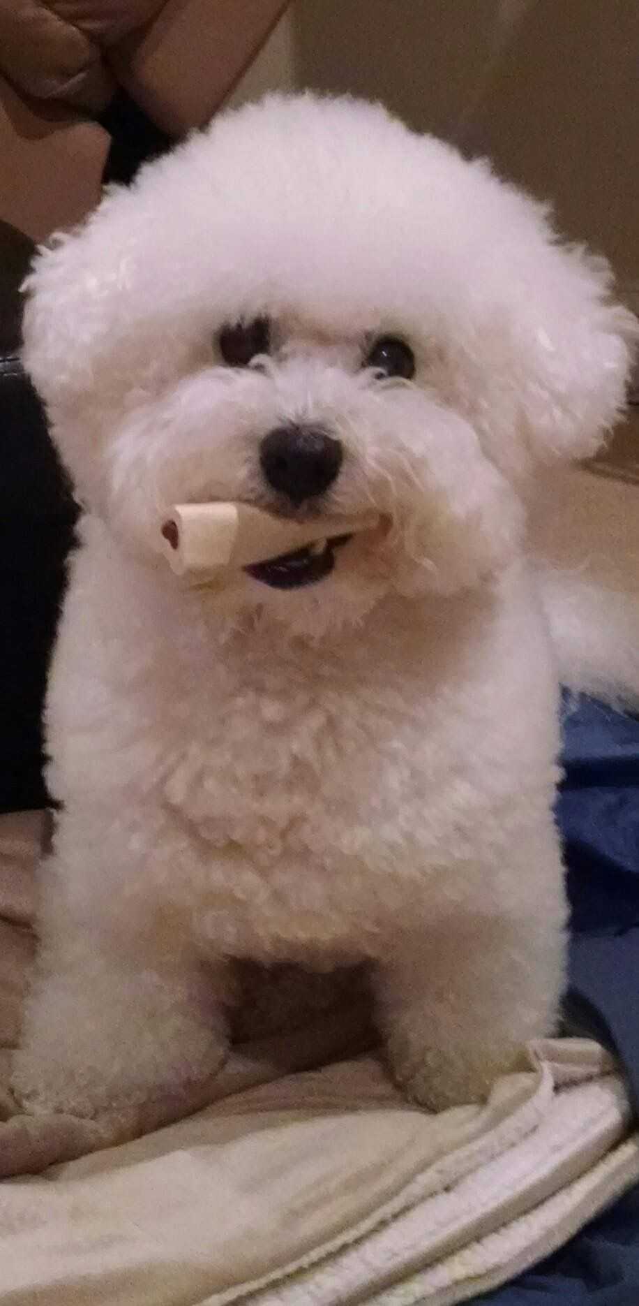 Bailey And His Favorite Bone Bichon Bichon Dog Bichon Frise