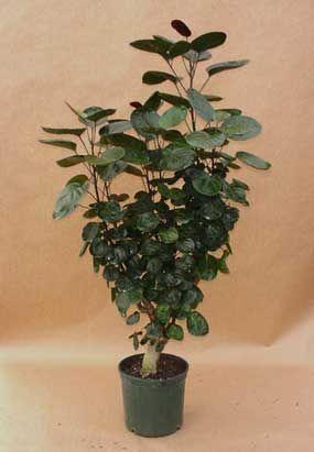 Aralia Plants For Interiors Plants Plant Care Inside Plants