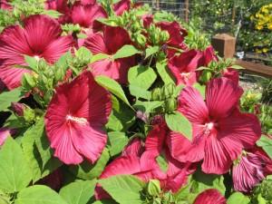Rose Of Sharon Gammon S Garden Center Landscape Nursery Landscape Nursery Rose Of Sharon Hardy Hibiscus