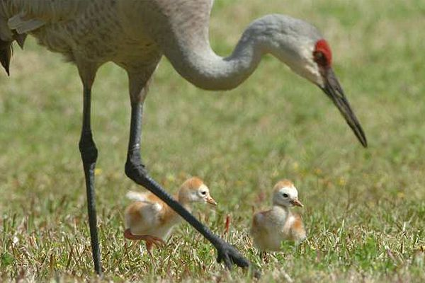 Memories Of Sandhill Cranes >> Sandhill Crane Chicks Try To Keep Up With Their Mother Sandhill
