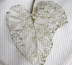 skeleton leaves: throw in a pot, Add 80 g of baking soda and ¾ liter of water. boil for 2 hrs ...