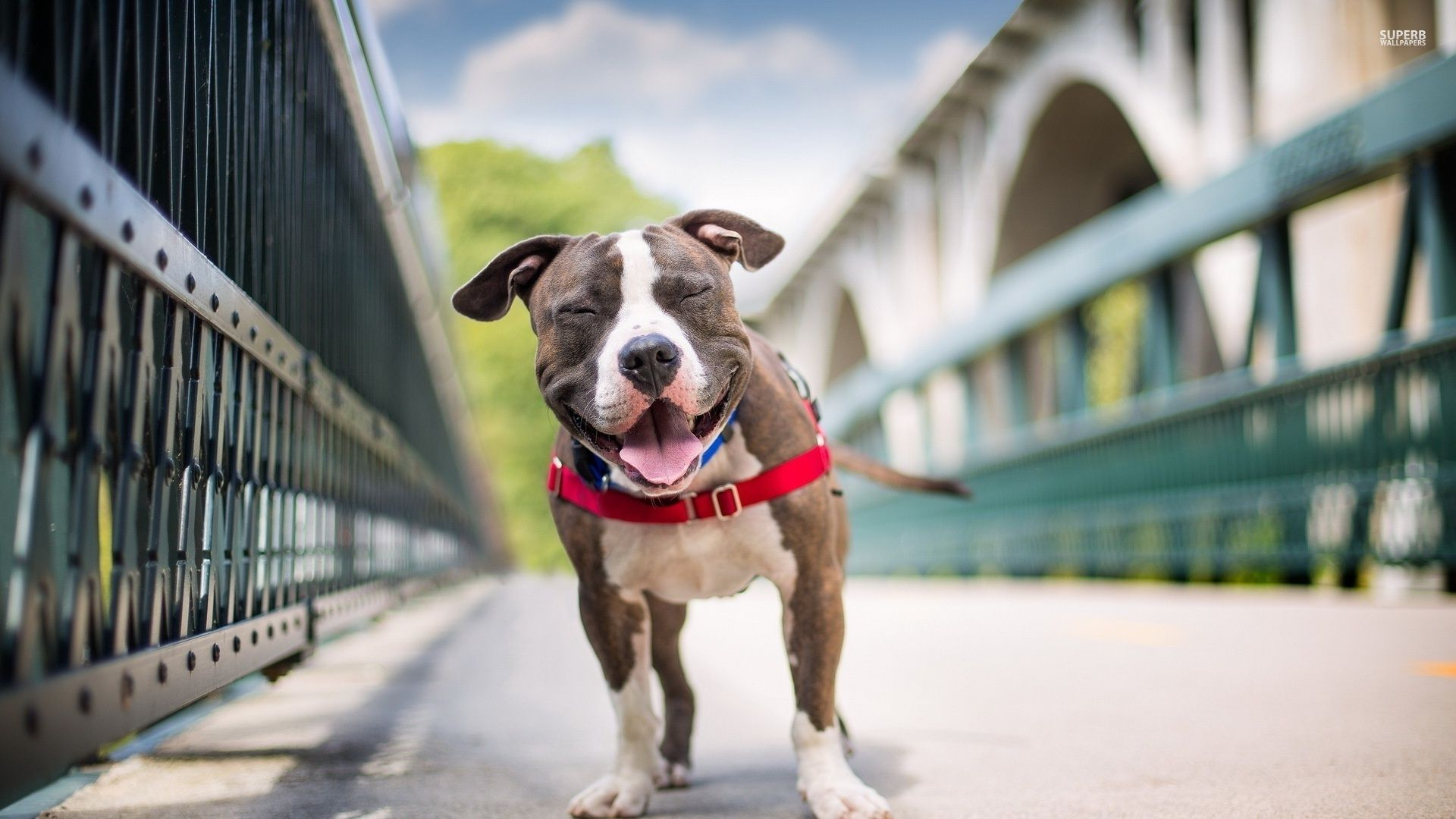 Pitbull wallpapers pitbull smiling on a bridge dogs wallpapers pitbull wallpapers pitbull smiling on a bridge solutioingenieria Image collections